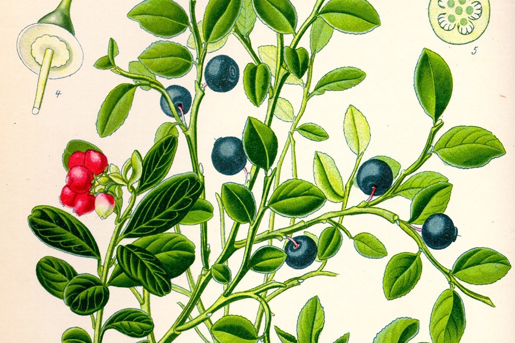 Old drawing of blueberry plant.jpg