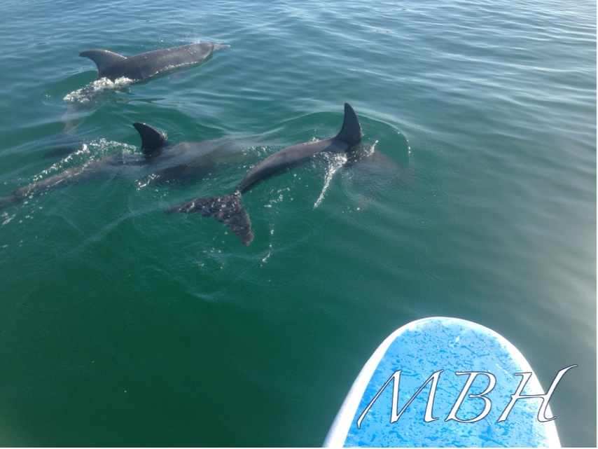 dolphins - Mornington Peninsula- Stand Up Paddle Board Hire - SUP Hire